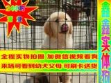 北京买大头金毛犬——种公配种全天营业——京津冀送狗上门
