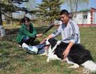 娇子犬业注册CKU十年单一繁育赛级宠物级边境牧羊犬