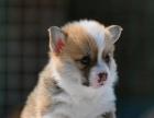 佛山哪里有卖威尔士柯基犬 纯种黄白色柯基犬出售