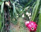 惠州惠城区汤泉生态园农庄红火龙果采摘基地