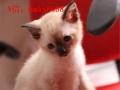 高品质暹罗猫出售,签协议可送货