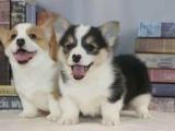 广州 出售纯种柯基幼犬 可签协议质保健康
