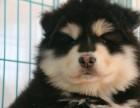 有着古老血统的极地阿拉斯加雪橇犬