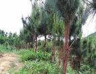 清远市1800亩松树林地