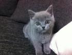 广州哪里买蓝猫 纯种家养包子脸蓝猫 蓝白 包健康 疫苗齐