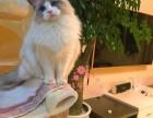 重庆哪里有卖布偶猫,两个半月布偶猫多少钱一条
