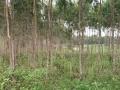 龙头周埇村林业桉树地220亩
