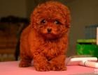 上海哪里出售泰迪上海泰迪狗狗价格上海泰迪多少钱哪里买