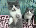苏州哪里有英短猫卖 专业繁殖 公母均有 包纯种包健康