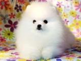 高品质博美犬带血统 终身质保 质量三包,可签协议