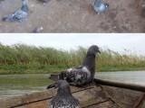 雞西正宗元寶鴿 圓環鴿 摩登鴿品相好