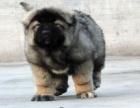 重庆高加索幼犬多少钱一只重庆哪里有卖高加索 高加索价格