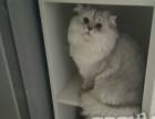 一岁多纯种金吉拉公猫借配