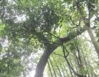 出售珍贵纯天然野生名贵老香樟木樟树
