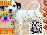 出售纯种高品质斑点狗,包售后签订协议