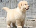 CKU认证犬舍 金毛犬 保障健康 终生售后