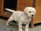 三四个月纯种拉布拉多犬幼崽多少钱一只