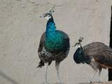 孝感孔雀苗幼鸟观赏鸟蓝孔雀出售