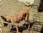 纯种比利时马犬多少钱一只 马犬幼崽价格 红马犬多少钱