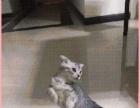 将一只折耳猫给好心人哦