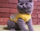 重庆本地猫舍英短蓝猫,