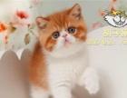 CFA纯种赛级加菲猫虎斑异国短毛猫宠物活体幼猫小猫