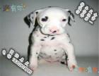 品相好一点的斑点狗哪里有卖的 多少钱