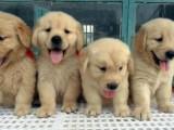咸阳那里有金毛犬卖 咸阳金毛犬价格 咸阳金毛犬多少钱