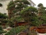 别墅、公司单位花园绿化养护与修剪