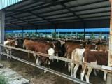 出售优质改良西门塔尔牛肉牛繁殖母牛小牛犊育肥牛种牛