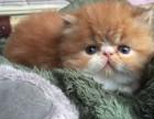 哈尔滨哪里有加菲猫卖 自家繁殖 品相极佳 多只可挑