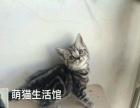 山西太原萌猫生活馆---高品质美短虎斑找新家啦