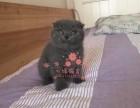 南京买卖宠物地方 南京哪里卖健康蓝猫价格便宜
