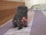 昆明蓝猫多少钱 昆明哪里出售的蓝猫幼犬价格最便宜