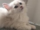 自家繁育可爱布偶猫