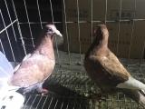 自家繁殖幼鸽出售