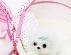 聪明活泼的马尔济斯幼犬,雪白长毛的狗狗