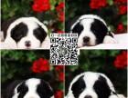 上海市奉贤区狗场出售纯种健康边境牧羊犬幼犬 购宠送用品一套
