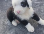福州招人喜欢的英国古代牧羊犬宝宝出售