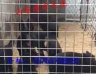 哪里出售黑狼犬幼犬,多少钱一只黑狼犬,黑狼犬价格多少