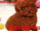 精品推荐纯种韩系泰迪熊 茶杯 玩具 可爱至极 购买可签订协