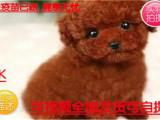 火热直销中纯种韩系泰迪熊 茶杯 玩具 可爱至极 购买可签订协