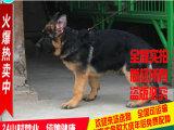 聪明保证纯种德牧出售,杭州地区可上门看狗