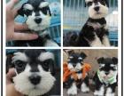 精品雪纳瑞幼犬出售年初特价 支持全国飞 签协议