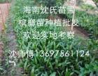 有海南三沙市儋州市槟榔苗出售 可先来园考察参观再订苗