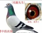 幼鸽预订世界铭血 出售快速稳定信鸽就在状元鸽舍