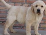 兰州拉布拉多犬多少钱一只 兰州哪里有卖纯种拉布拉多犬价格多少