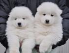 纯种萨摩耶犬 极地品质 多色选择 质量保证