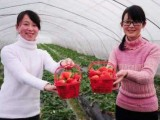 郴州草莓华塘草莓草莓采摘草莓基地草莓园