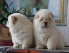 中国专业繁殖双血统松狮犬舍 可以上门挑选